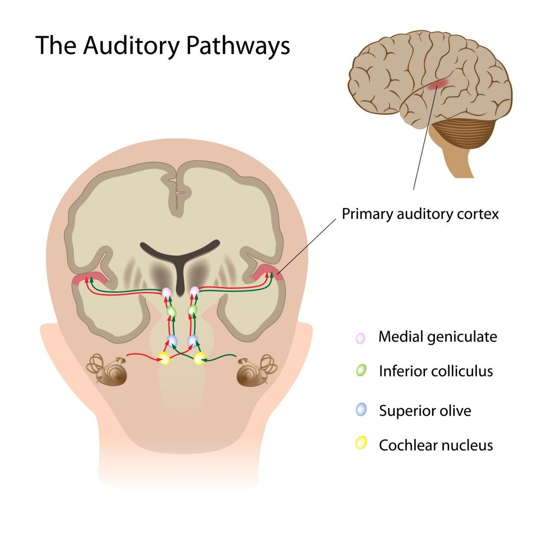 Diagram of the auditory pathways